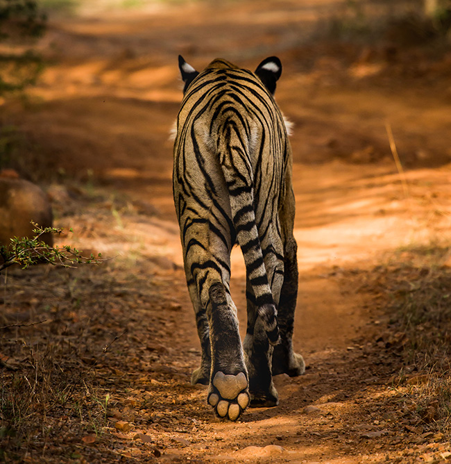 tiger walking away with its back to camera